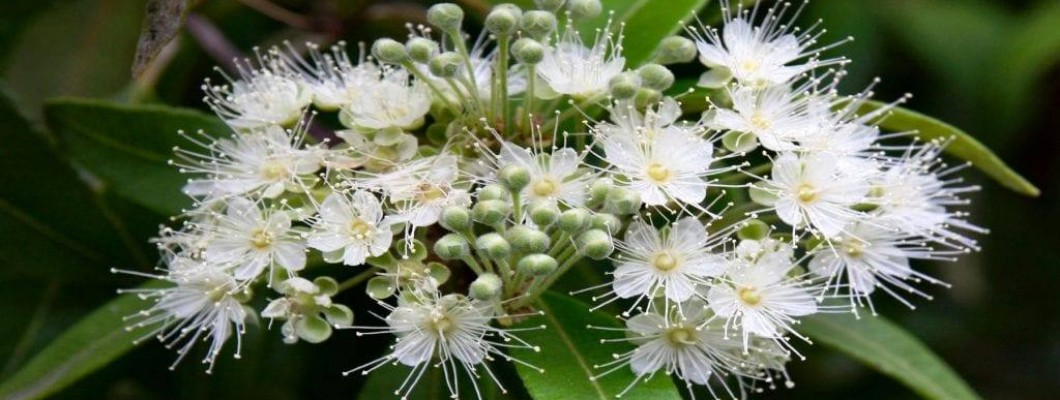 Lemon Myrtle Essential Oil from NSW